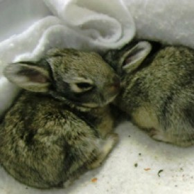 rescued cottontail rabbits