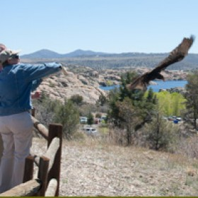 turkey vulture release