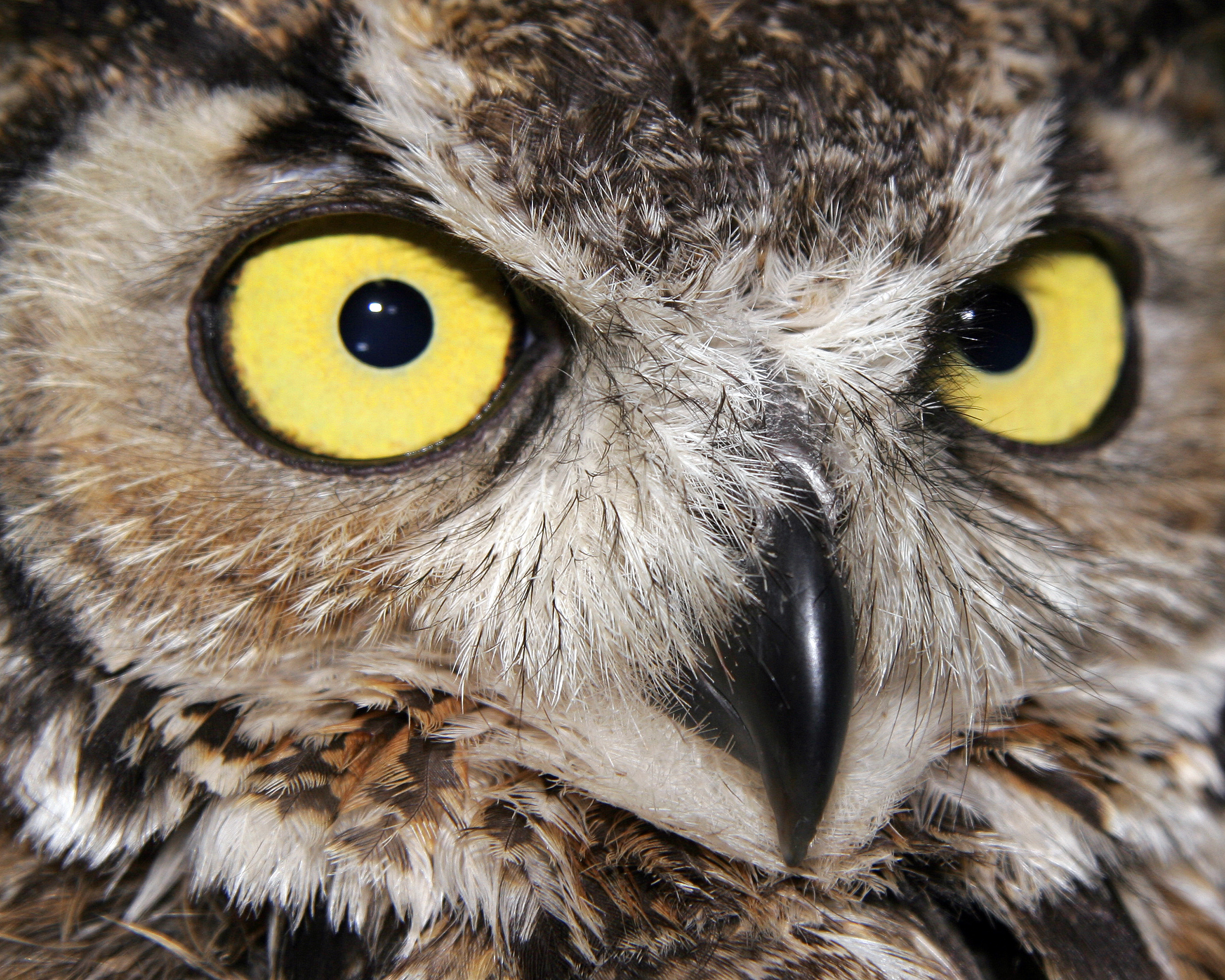 8X10-great-horn-owl-face003