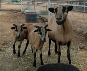 Black Bellied Sheep