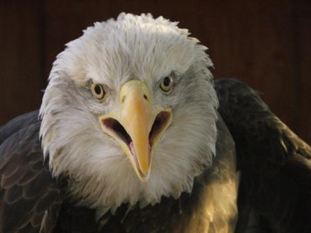Eagle Montanacompressed