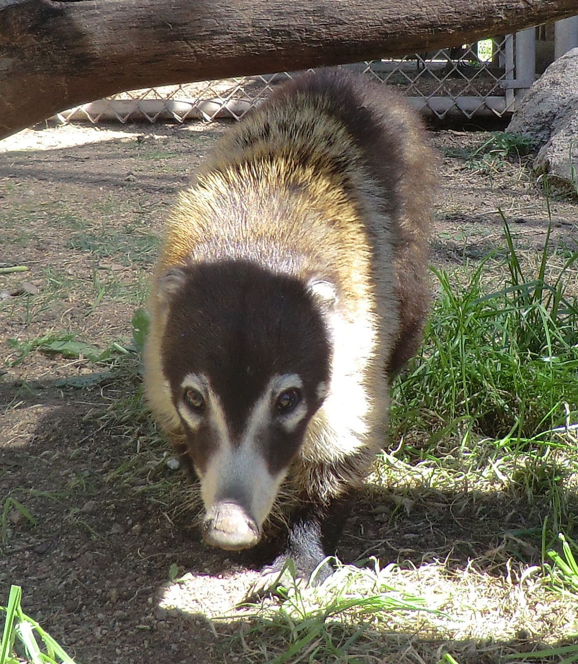 coati-chloe-on-grass002